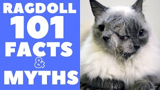 Ragdoll Cats 101 : Fun Facts & Myths