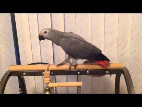 MY AFRICAN GREY PARROT OZZY PLAYING ON THE STAND