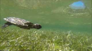 Hawksbill sea turtle rescued in Turneffe Atoll, Belize