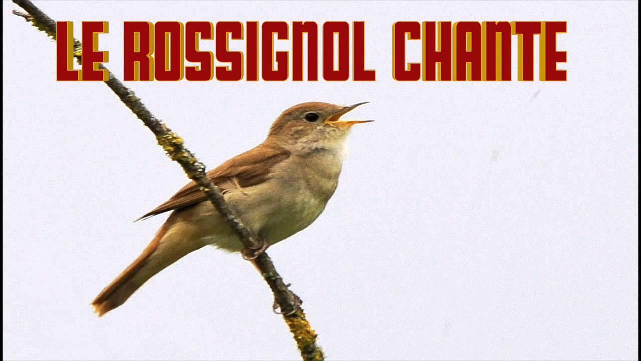 Rossignol qui chante le cri du rossignol chant youtube - Dessin oiseau qui chante ...
