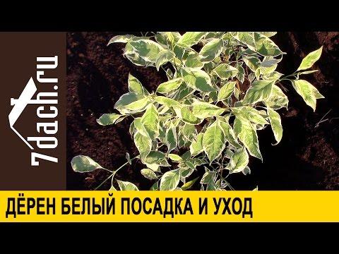 Как вырастить дерен из семян