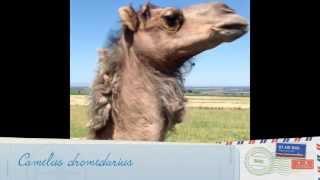 Одногорбый верблюд - живой корабль пустыни
