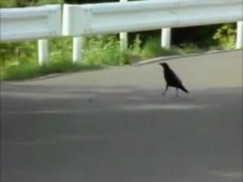 Tokyo Crows smartest birds in the world