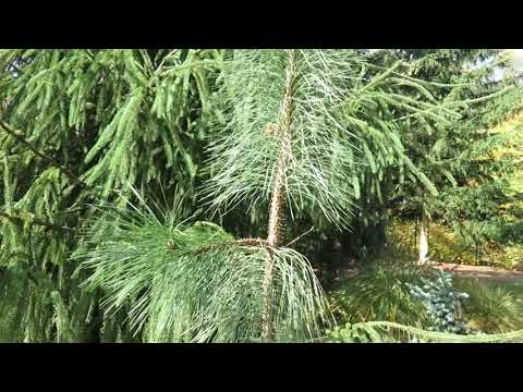 Pinus ponderosa ´Penaz´ borovice těžká