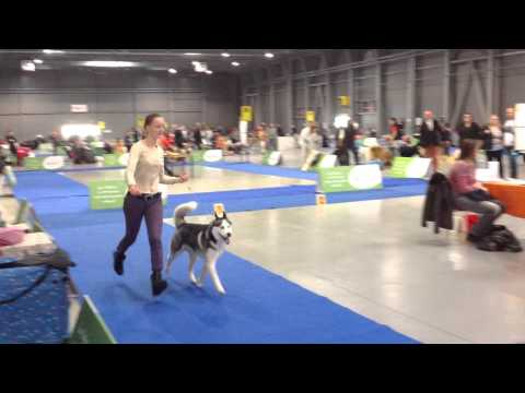 Prague Expo Dog 31.10.2015, Siberian husky, CACIB competition