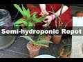 Semi-hydroponic repotting of orchids - seedlings, sick orchids, and healthy mature plant
