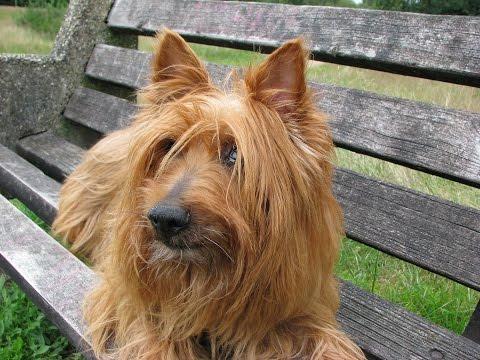 Silky Terrier Australiano / Raza de Perro