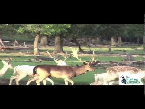 Spotted Fallow Deer Hunting In Florida With South Coast Safaris