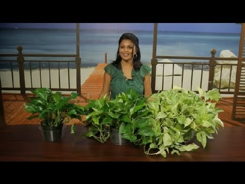 What Are the Different Types of Pothos Ivy? : Gardening Tips