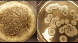Fungi recycle rechargeable lithium - ion batteries