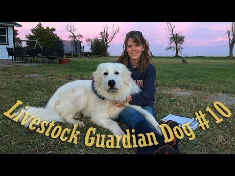 Livestock Guardian Dog Series - 'The Barking'