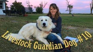 Livestock Guardian Dog Series  'The Barking'