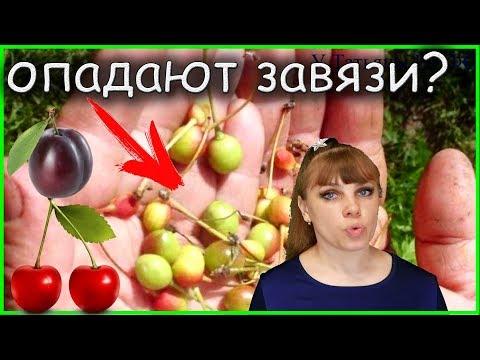 Почему опадают завязи у ВИШНИ и СЛИВЫ Как уберечь плоды?