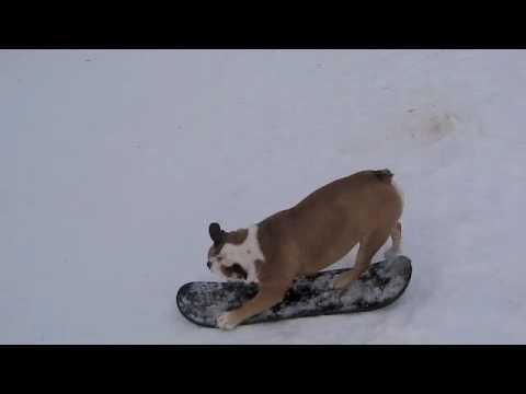 Snowboarding Bulldog