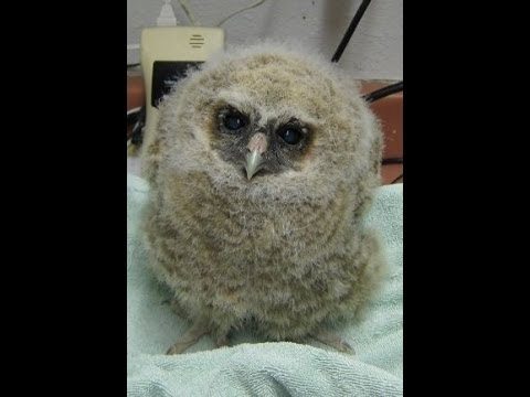 Spotted Owl Baby At Wildcare Youtube