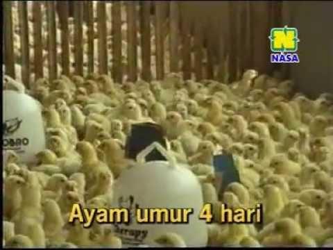Cara Sukses Budidaya Ayam Pedaging Broiler 081225999901
