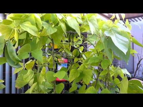 Patani Plants