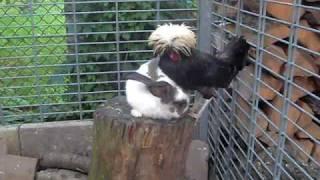 Króliczek i kura