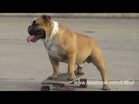 Biuf - The English Bulldog Skater from Peru #2