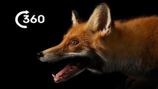 life as an urban fox 360 planet earth ii