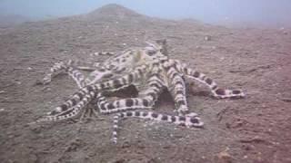 Amazing Mimic Octopus vs Mantis Shrimp Battle