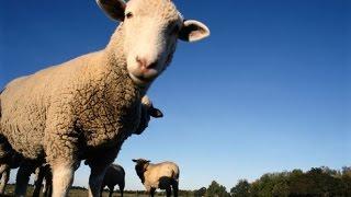 Столкнулся с бараном и #умер. #Жесть. Guy collided with sheep and #died.