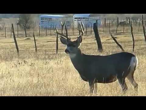 Nice looking mule deer buck grazing with a small herd.