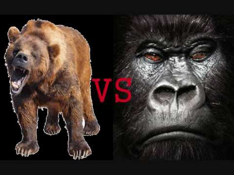 Silverback Gorilla VS. Grizzly Bear - YouTube