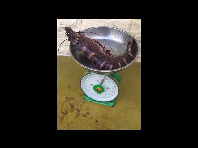 Tôm sú 200 gram của Vàm Sát