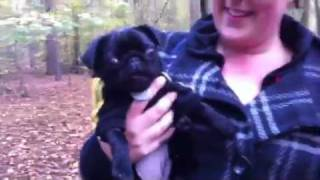 Screaming Batman Pug Puppy