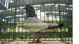 Бенешовский голубь Школа голубевода породы ч 3