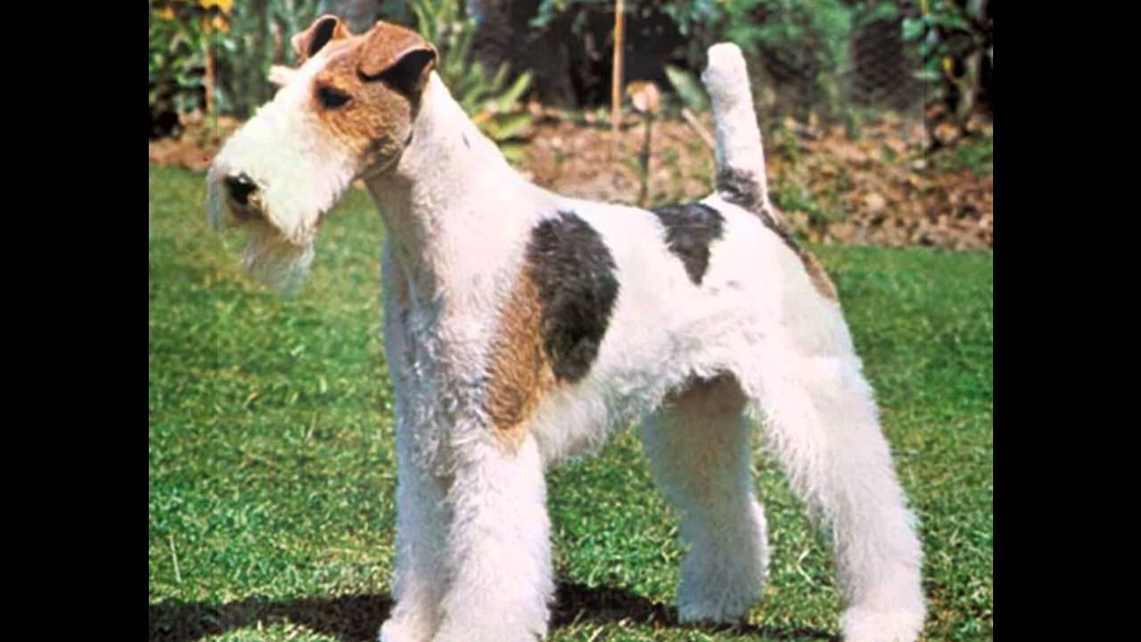 Corte de pelo para fox terrier
