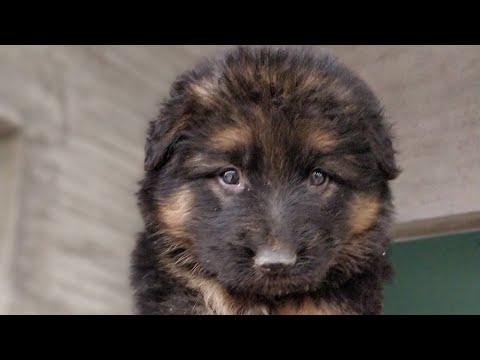 ARM Dog Kennel : Healthy Double Coat German Shepherd, Active Pug and Blue Eyes Saiberian Husky