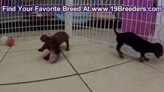 Miniature Dachshund, Puppies, For, Sale, In, Badger, County, Alaska, Ak, Kink Fairview, College