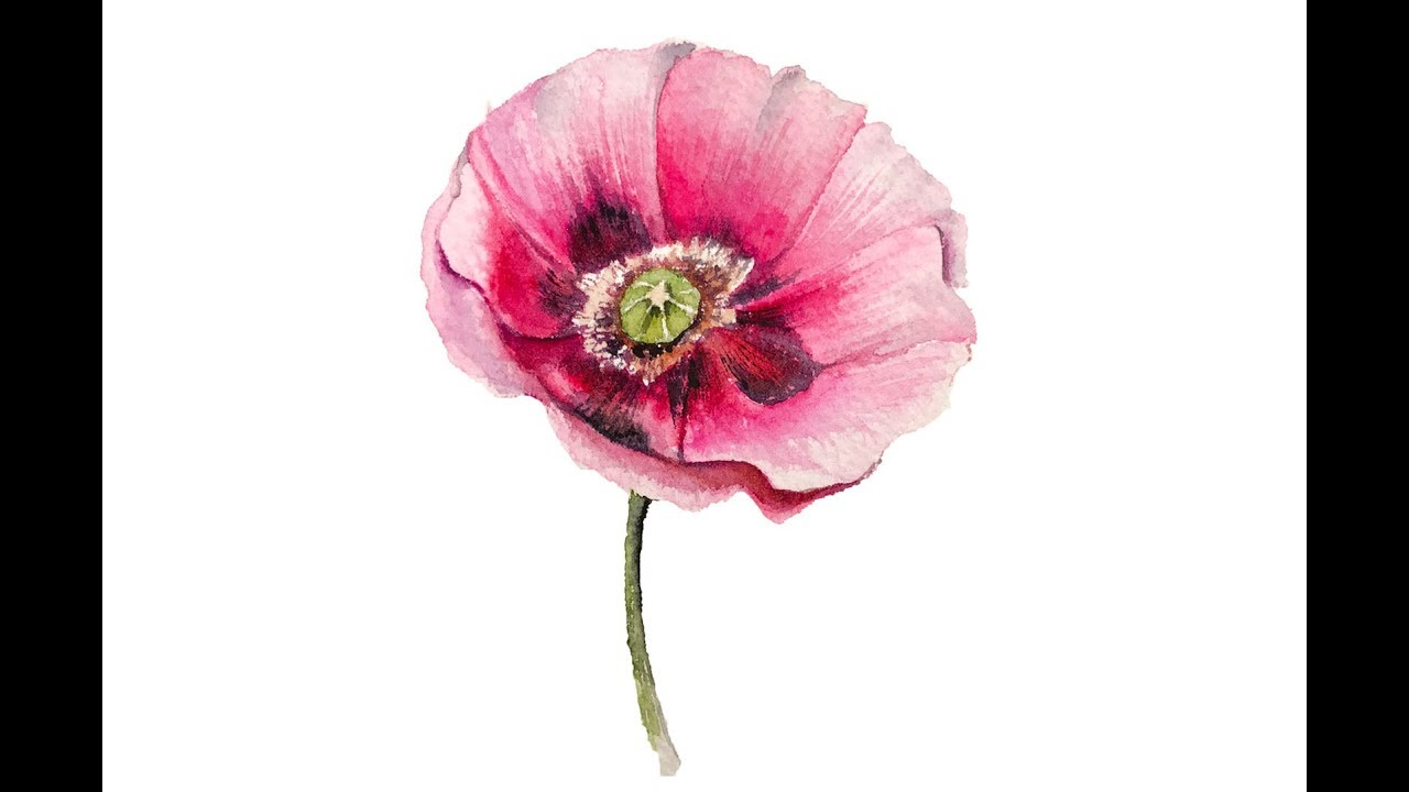 Poppy Flowers Watercolor Painting Free Stock Photo ... |Watercolor Poppies Pink
