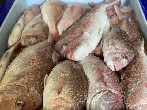 South Australian Snapper Ban