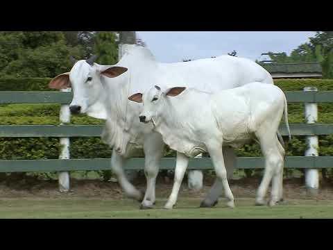 Lote 16   Hondhara FIV HVP   HVP 3776