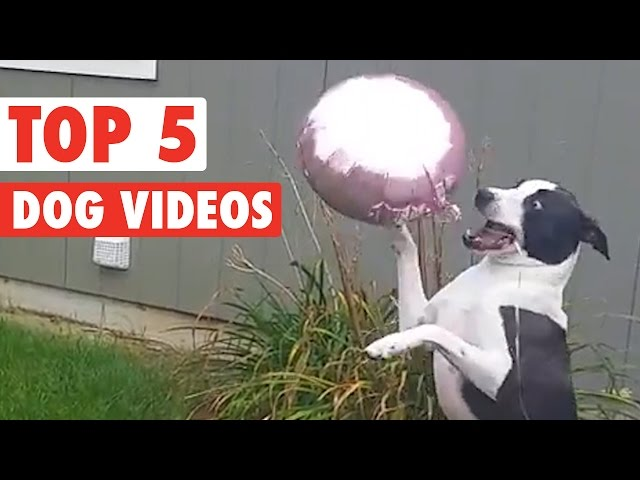 Top 5 Dog Videos || Funny Puppy Compilation