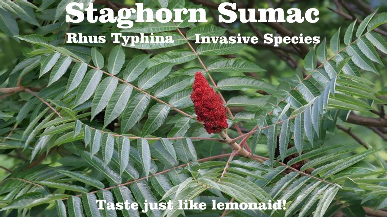 Staghorn Sumac Tree Seeds Rhus typhina 40+Seeds