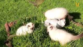 Глазами животных #208. Порода кошек: Невская маскарадная.