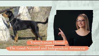 Transylvanian Hound  – The GoodNatured and Independent Aristocrat