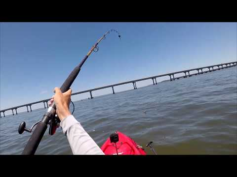 Cobia Fishing From A Kayak! Broad River Bridge Fishing