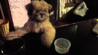 Toby The Lhasa Apso Trying To Steal The Treat Box