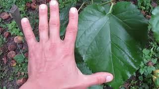 Зеленое черенкование шелковицы: результат посадки в открытый грунт