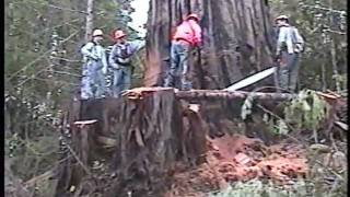 Repeat youtube video Falling an old growth redwood tree; Humboldt County, CA, 2002