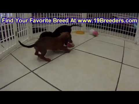 Miniature Dachshund, Puppies, For, Sale, in, Mobile, County, Alabama, AL, Huntsville, Morgan, Calhou