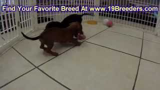 Miniature Dachshund, Puppies, For, Sale, in, Mobile, County, Alabama