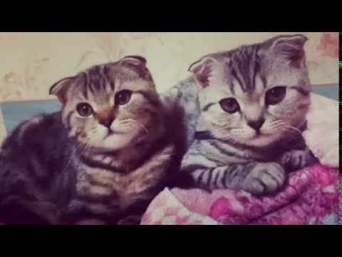 Funny cats Scottish fold