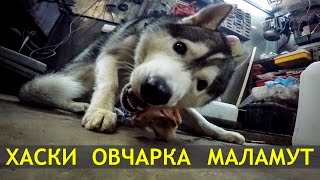 Кавказская овчарка, сибирский хаски и аляскинский маламут / Caucasian shepherd, husky, malamute