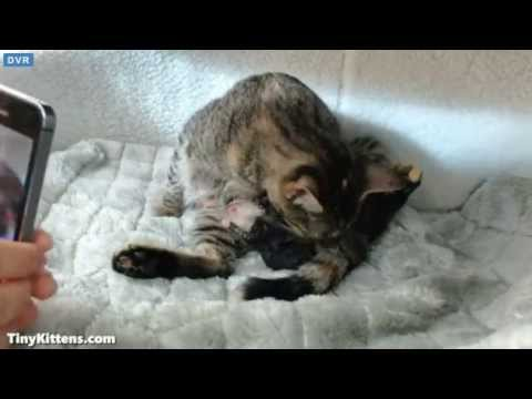 Tiny Kittens Tip active labor and birthing of number 1